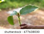 leaves of mitragyna speciosa ... | Shutterstock . vector #677638030