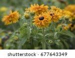 rudbeckia flowers in the garden | Shutterstock . vector #677643349