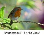 portrait of a robin perching on ...   Shutterstock . vector #677652850