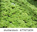 Small photo of Closeup of azolla