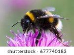 Bumblebee  Bombus Terrestris