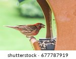 A Lone Male House Finch Eating...