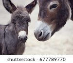 Baby Donkey Mule With Its...