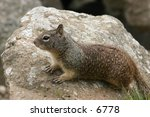 squirrel on a rock | Shutterstock . vector #6778