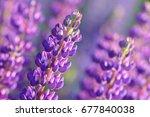 lupinus  lupin  lupine field... | Shutterstock . vector #677840038