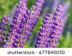 lupinus  lupin  lupine field... | Shutterstock . vector #677840050