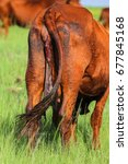 Small photo of Cow in grass field with afterbirth from calf hanging out of birth canal, South Africa