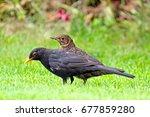 Blackbirds Male And Female...