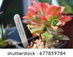 Small photo of Aeonium haworthii varigalum succulent in a pot