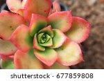 Small photo of Closeup of Aeonium haworthii varigalum succulent pink