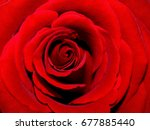 Stock photo single red rose close up showing petals 677885440