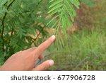 hands touch sensitive plant ... | Shutterstock . vector #677906728