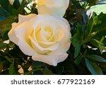 white rose | Shutterstock . vector #677922169