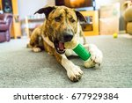 Stock photo a brindle labrador mixed dog chews on a bone chew toy and plays with its owner 677929384
