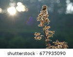 Small photo of Ageratum conyzoides flower droopy and freeze in sunshine
