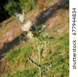 Small photo of Little white butterfly sat down on a thistle flower. Green grass all around.