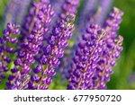 lupinus  lupin  lupine field... | Shutterstock . vector #677950720