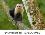 white headed capuchin  black... | Shutterstock . vector #678004969