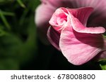 blooming bud with bright pink... | Shutterstock . vector #678008800