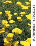 Small photo of Blooming cultivar yarrow (Achillea filipendulina 'Coronation Gold') in the summer garden