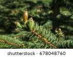 Small photo of New fresh foliage of Abies concolor white fir closeup