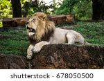 Lion Sat In A Relaxed Position...