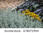 Also Known As Helichrysum...