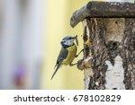 Eurasian Blue Tit At A Nesting...
