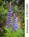 lupine blooming wild flowers in ... | Shutterstock . vector #678111694