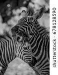 mono close up of grevy zebra... | Shutterstock . vector #678128590