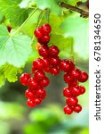 Small photo of Red currant - acid