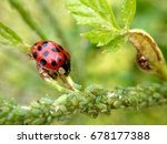 ladybird eating aphids on a... | Shutterstock . vector #678177388