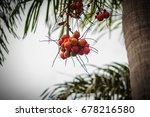 Small photo of Bright orange Foxtail Palm fruit (Wodyetia bifurcate A.K. Irvine) on tree.