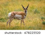 Pronghorn Antelope In Grass...