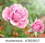 Stock photo beautiful pink rose in a garden 67823017