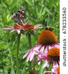 Red Admiral And Bee On Purple...