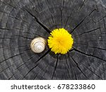 Snail And Dandelion In Stump...