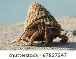 Caribbean Land Hermit Crab (Coenobita clypeatus) - Bonaire, Netherlands Antilles