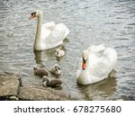 Swan Parents With Her Youngs I...
