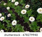 zinnia flowers | Shutterstock . vector #678279940