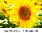 sunflower field | Shutterstock . vector #678300820