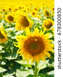 sunflower field | Shutterstock . vector #678300850