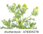 pineappleweed  matricaria... | Shutterstock . vector #678305278