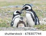 magellanic penguin's  famaly...   Shutterstock . vector #678307744