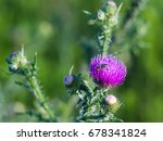 Bee On A Pink Flower Sow Thistle