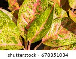close up red and green leaves... | Shutterstock . vector #678351034