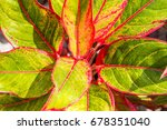 close up red and green leaves... | Shutterstock . vector #678351040