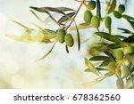 Olives On Olive Tree. Season...