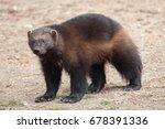 wolverine  gulo gulo   also... | Shutterstock . vector #678391336