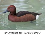 Ferruginous Duck  Aythya Nyroc...